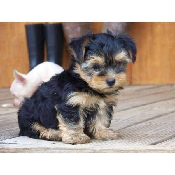Cute and Charming Yorkie Now Ready Lowest Price