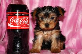 Cute Yorkshire Terrier puppies for sale to caring families