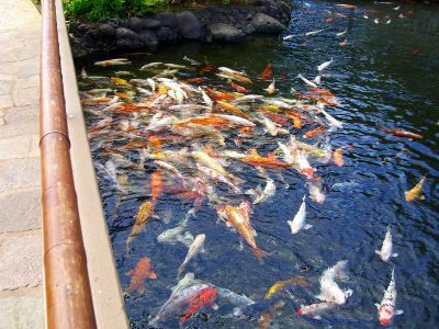 Decorative koi fishes now available at their best prices - Decoratie kooi ...