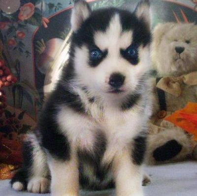 Siberian Husky puppies Akc registered