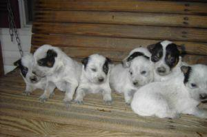 Australian Cattle Dog puppies for sale