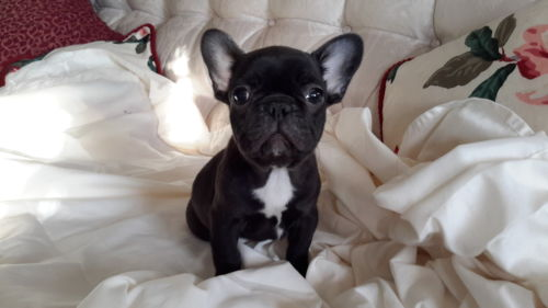 Save French bulldog puppies lives