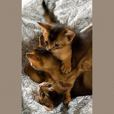 Adorable Adorable Abyssinian Kittens Available Now For Sale
