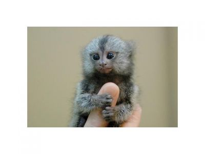 Adorabel pure breed baby capuchin monkeys for sale
