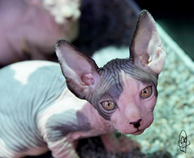 Outstanding Sphynx kitten For Good And Caring Homes.