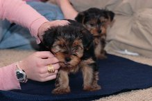 Fantastic Teacup yorkshire Terrier Puppies for Adoption!!