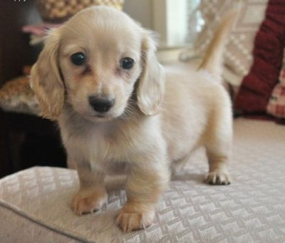 female Dachshund puppy for sale