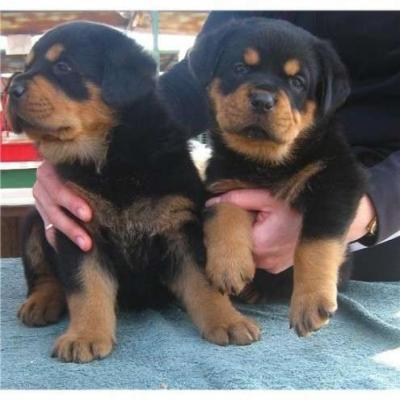 Rottweiler puppies for a good home