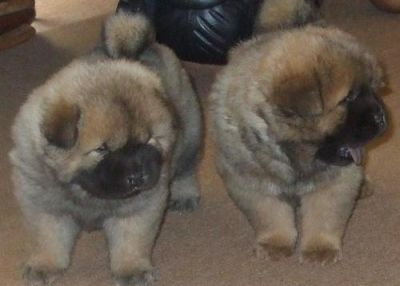 Beautiful KC registered Chow Chow pups