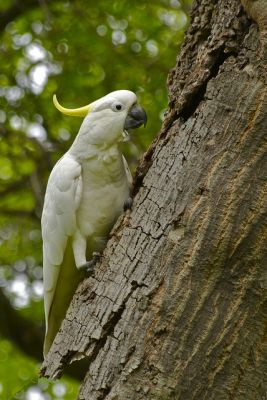 Free cockatoo for adoption