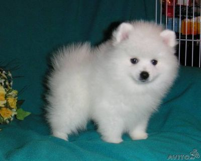 Cute and adorable pomeranian puppies for a loving home