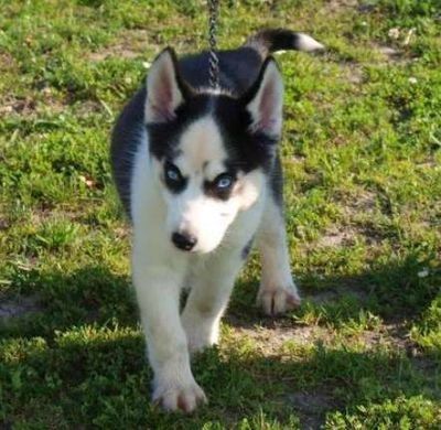 health guarantee siberian husky puppies with blue eyes for sale.