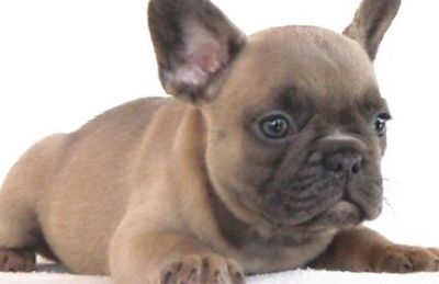 Great and homeless French Bulldog Puppies For Sale