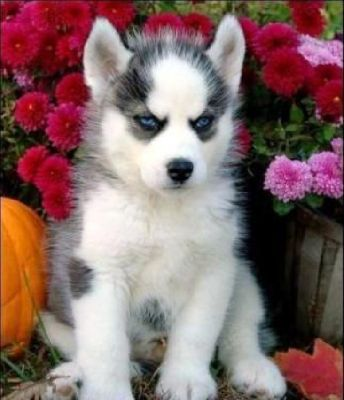 Male and female Siberian husky puppies.