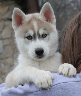 cute and healthy siberian husky puppies for sale