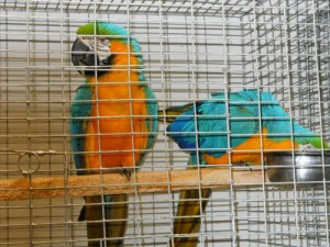 Talkative Blue and Gold Macaw Parrots Now Ready For Re-homing