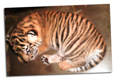 cute tiger cubs for sale