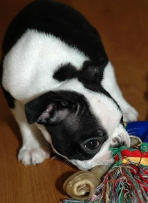 Loving Boston Terrier puppies for sale