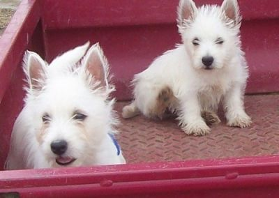 Adorable West Highland Terrier Puppies For Sale