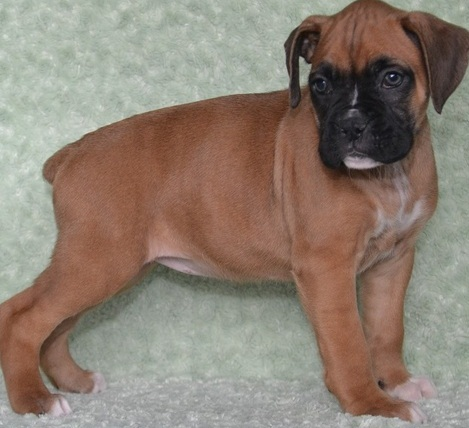 Lovely male and female Boxer puppies for adoption.