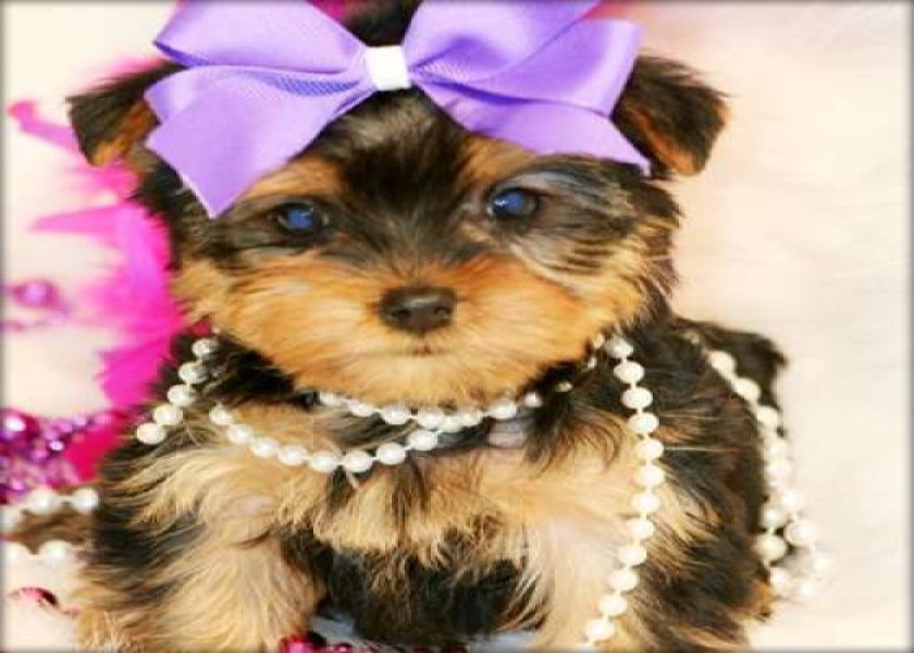 Amazing Yorkie Puppies for sale .