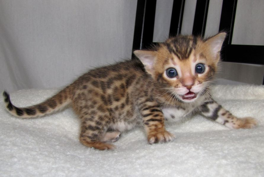 our  playful  bengal kittens for  sale