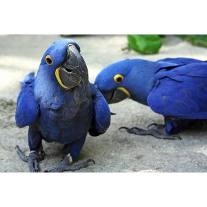 GORGEOUS   for sale hyacinth macaw parrots ,