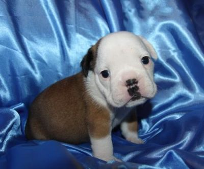 Adorable English Bull Dog puppy for Re--homing