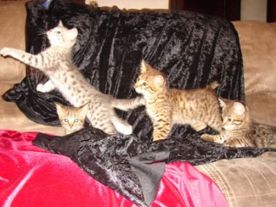F1 Savannah Kittens For New Homes