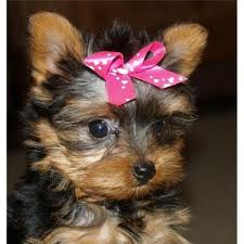 Beautiful Cute and Nice Charming Yorkie Puppies