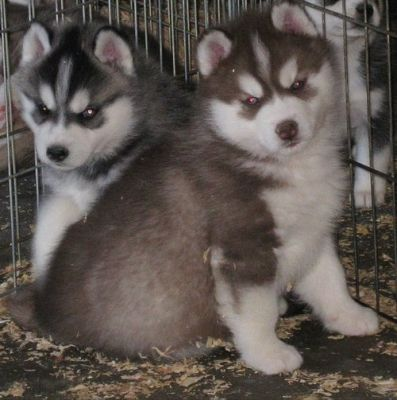 Male and female pups Akc Siberian husky