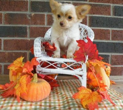 beautiful chihuahua puppy for sell