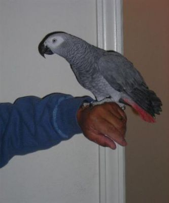 lovely talking parrot for sale now