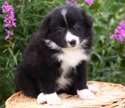 Cute Border Collie puppies for free adoption