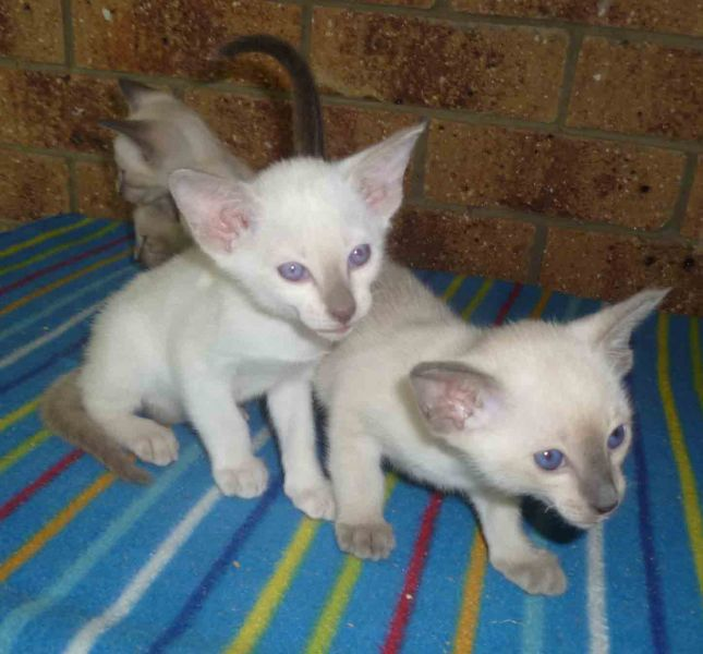 Siamese Kittens Available.