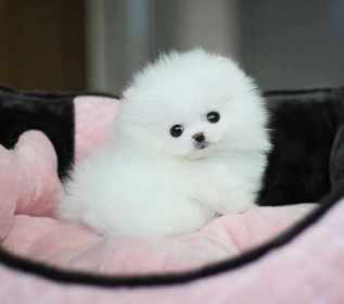 lovely Pomeranian puppies for adoption