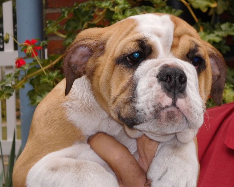 cute male and female  English bulldog Puppies  for sale.