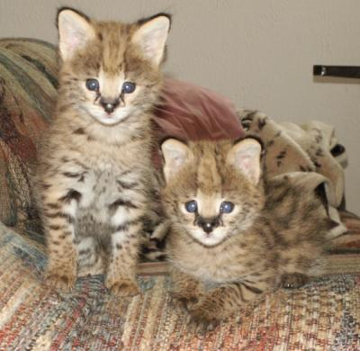 SAVANNAH F6 KITTENS FOR SALE