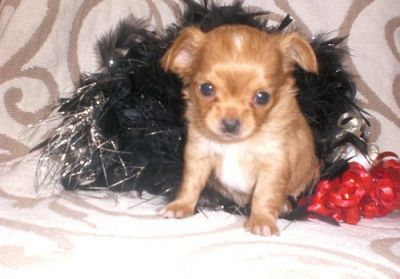 ***Absolutely 100% Top Quality **chihuahua**puppies from Accredited Breeder***