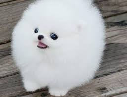 Cute pomeranian puppy for sale to pet loving homes