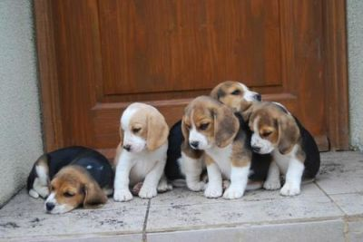 cute male and female beagle puppies for a happy home adoption