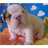 AKC REGISTERED English BULL DOG PUPPIES FOR ADOPTION
