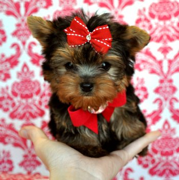 Very Friendly yorkie puppies for sale.