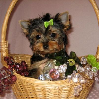 Gorgeous yorkie puppies seeking new home!!
