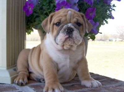 male and female English Bulldog Babies Ready For their new home,