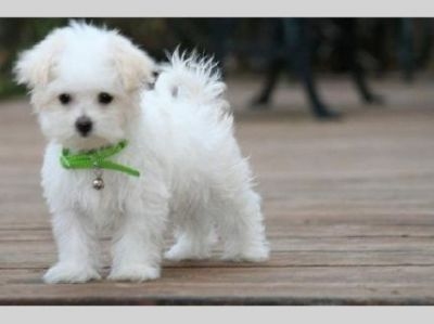 AKC Bichon maltese puppies for good homes.