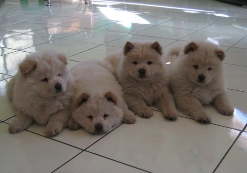 Chow Chow Puppies Now Available