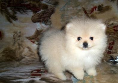 Affectionate Pomeranian puppies  Ready to go now