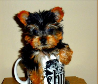 3lbs Teacup Yorkie Puppies Available.
