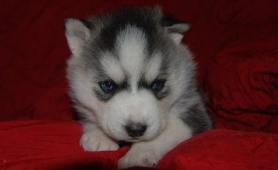 humble siberian husky puppies for sale